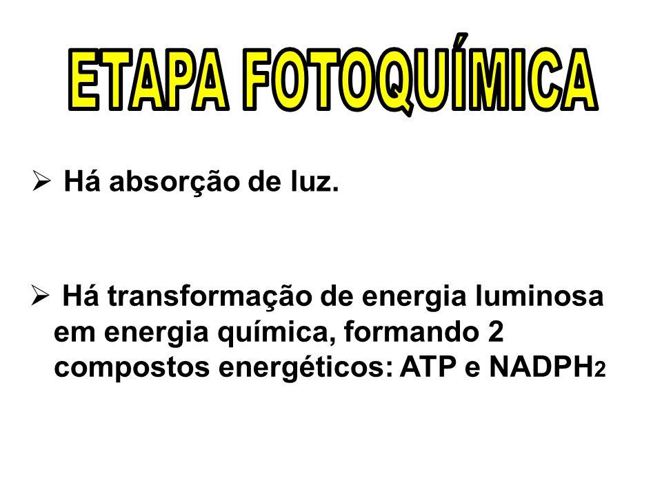 Há absorção de luz. Há transformação de energia luminosa em energia química, formando 2 compostos energéticos: ATP e NADPH 2