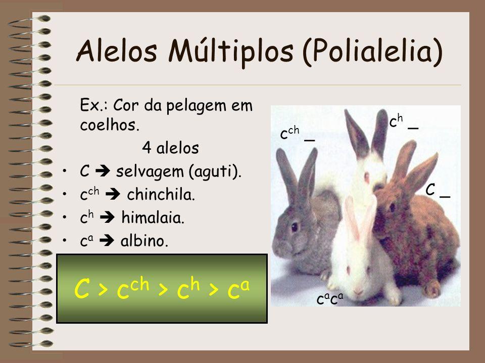 Alelos Múltiplos (Polialelia) Ex.: Cor da pelagem em coelhos. 4 alelos C selvagem (aguti). c ch chinchila. c h himalaia. c a albino. C > c ch > c h >