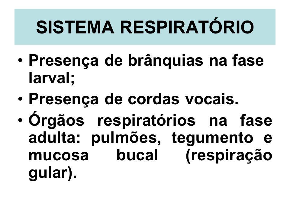 SISTEMA RESPIRATÓRIO Presença de brânquias na fase larval; Presença de cordas vocais. Órgãos respiratórios na fase adulta: pulmões, tegumento e mucosa