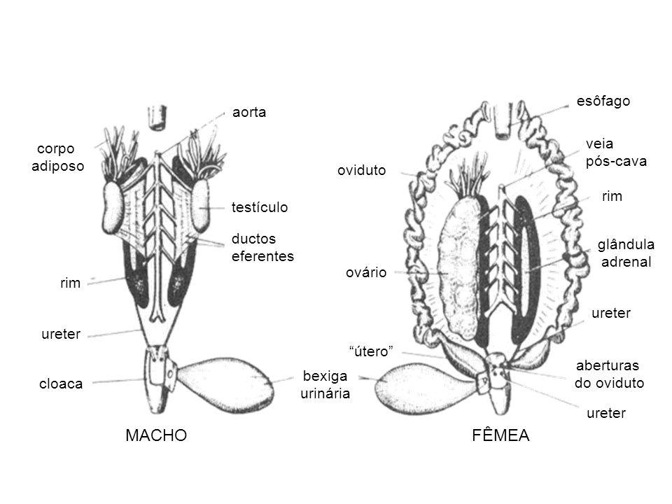 aorta testículo ductos eferentes rim ureter cloaca corpo adiposo bexiga urinária MACHOFÊMEA oviduto ovário útero ureter rim esôfago veia pós-cava glân