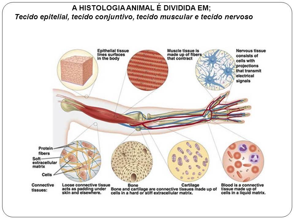 A HISTOLOGIA ANIMAL É DIVIDIDA EM; Tecido epitelial, tecido conjuntivo, tecido muscular e tecido nervoso