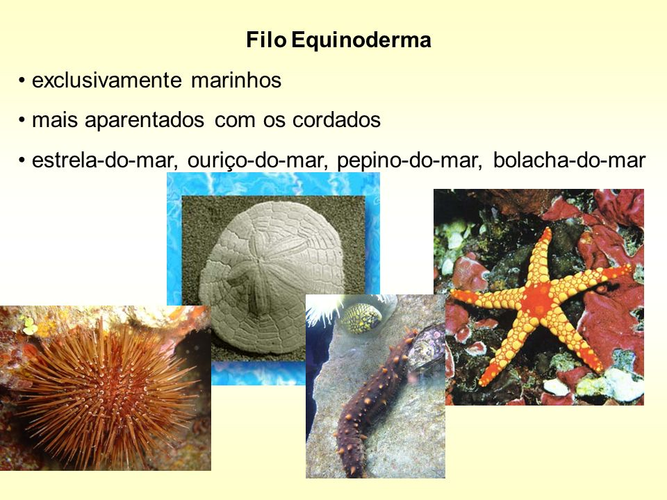 Filo Equinoderma exclusivamente marinhos mais aparentados com os cordados estrela-do-mar, ouriço-do-mar, pepino-do-mar, bolacha-do-mar