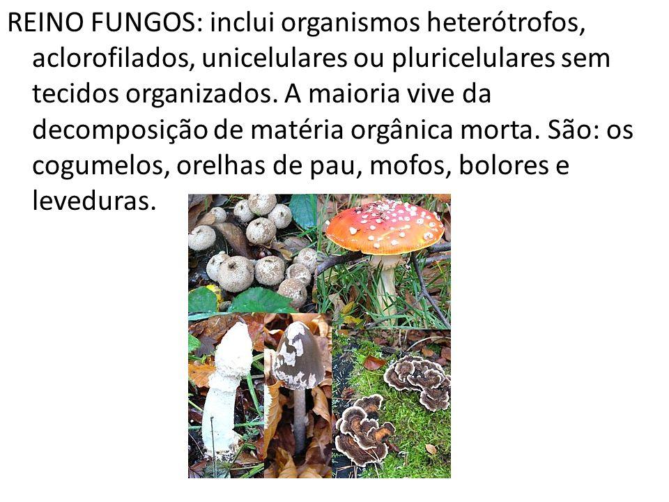REINO FUNGOS: inclui organismos heterótrofos, aclorofilados, unicelulares ou pluricelulares sem tecidos organizados. A maioria vive da decomposição de