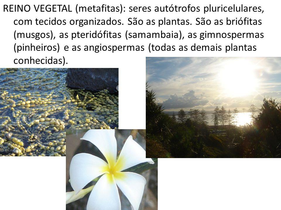 REINO VEGETAL (metafitas): seres autótrofos pluricelulares, com tecidos organizados. São as plantas. São as briófitas (musgos), as pteridófitas (samam
