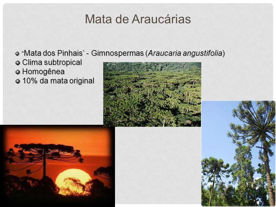 Mata de Araucárias Mata dos Pinhais - Gimnospermas (Araucaria angustifolia) Mata dos Pinhais - Gimnospermas (Araucaria angustifolia) Clima subtropical