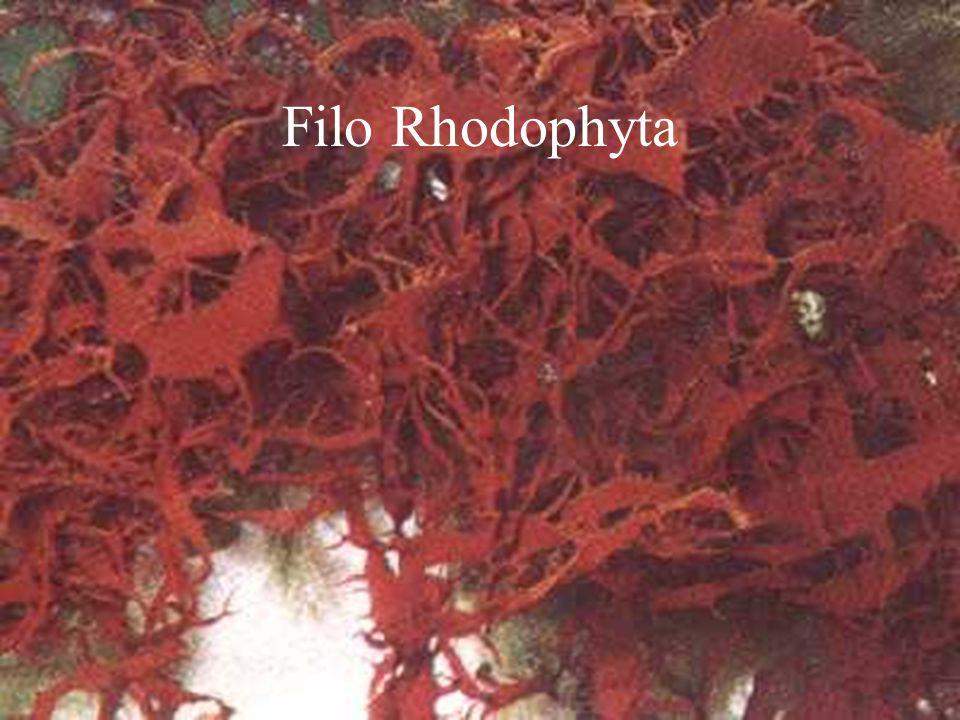 Filo Rhodophyta