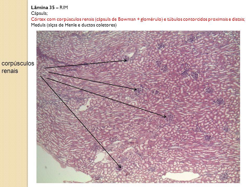 Lâmina 35 – RIM Cápsula; Córtex com corpúsculos (cápsula de Bowman + glomérulo) e túbulos contorcidos proximais e distais); Medula (alças de Henle e ductos coletores) corpúsculos renais Glomérulo Porção vascular = capilares cápsula de Bowman espaço de Bowman túbulos Paredes dos Túbulos = Epitélio Cúbico simples Epitélio pavimentoso simples = porção epitelial do corpúsculo