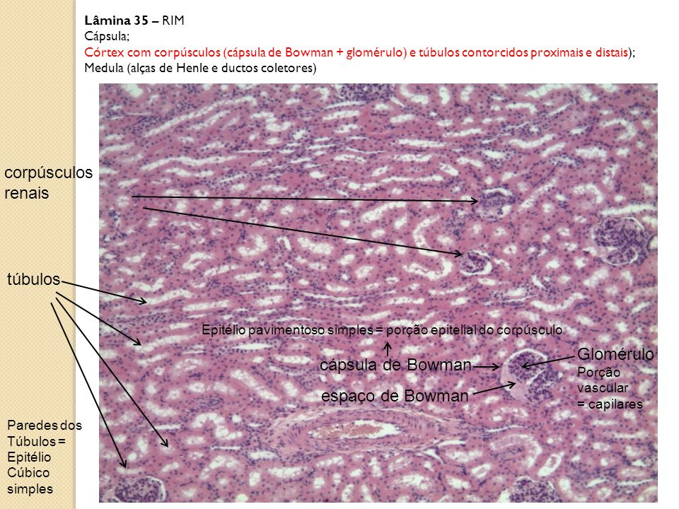 Lâmina 35 – RIM Cápsula; Córtex com corpúsculos (cápsula de Bowman + glomérulo) e túbulos contorcidos proximais e distais); Medula (alças de Henle e d