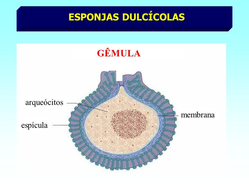 ESPONJAS DULCÍCOLAS arqueócitos espícula membrana GÊMULA