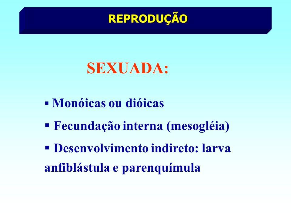 REPRODUÇÃO SEXUADA: Monóicas ou dióicas Fecundação interna (mesogléia) Desenvolvimento indireto: larva anfiblástula e parenquímula