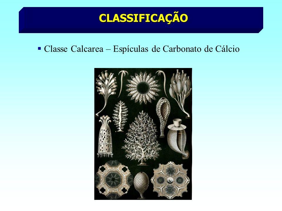 CLASSIFICAÇÃO Classe Calcarea – Espículas de Carbonato de Cálcio