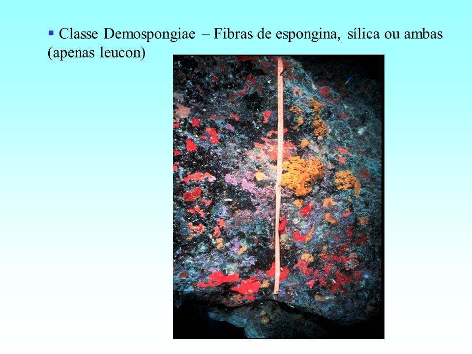 Classe Demospongiae – Fibras de espongina, sílica ou ambas (apenas leucon)