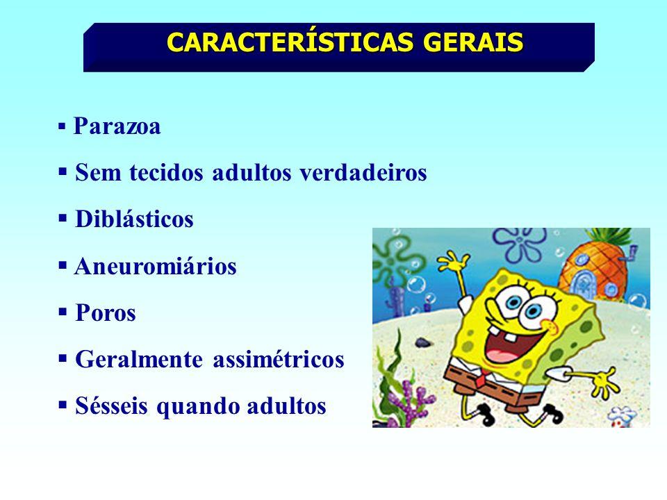 Parazoa Sem tecidos adultos verdadeiros Diblásticos Aneuromiários Poros Geralmente assimétricos Sésseis quando adultos CARACTERÍSTICAS GERAIS