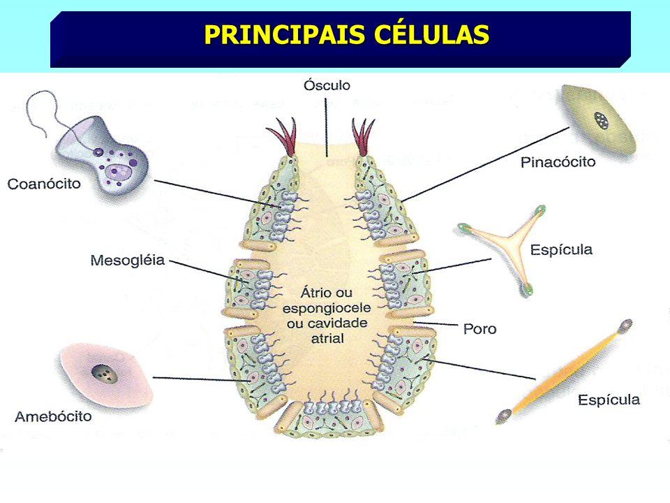 PRINCIPAIS CÉLULAS