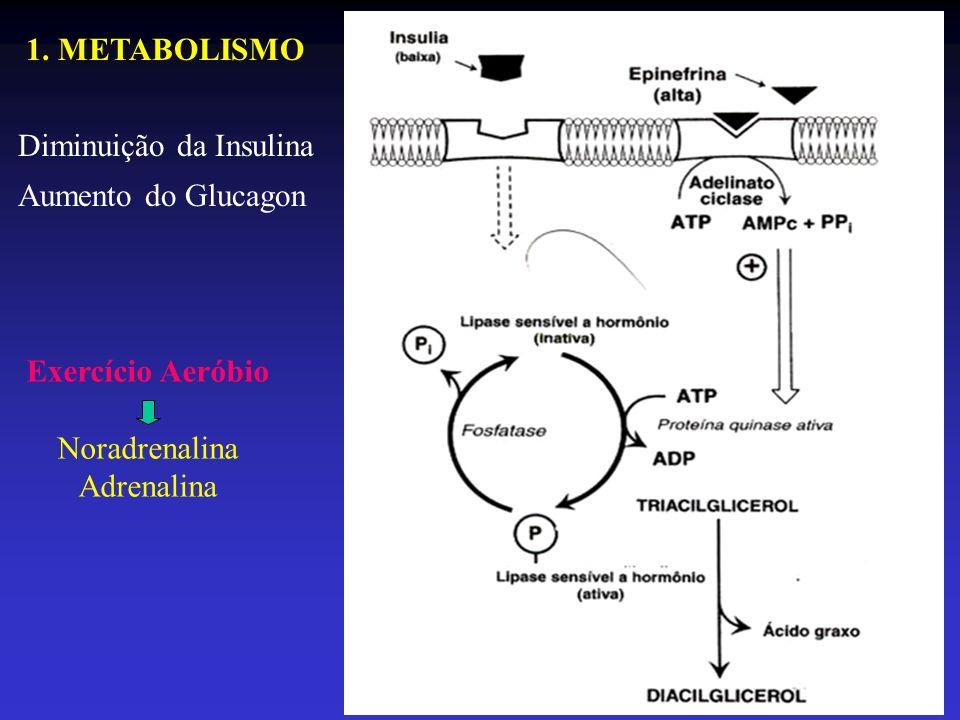 1. METABOLISMO Diminuição da Insulina Aumento do Glucagon Exercício Aeróbio Noradrenalina Adrenalina