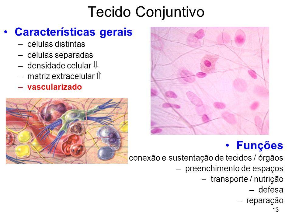 13 Características gerais –células distintas –células separadas –densidade celular –matriz extracelular –vascularizado Funções –conexão e sustentação de tecidos / órgãos –preenchimento de espaços –transporte / nutrição –defesa –reparação Tecido Conjuntivo