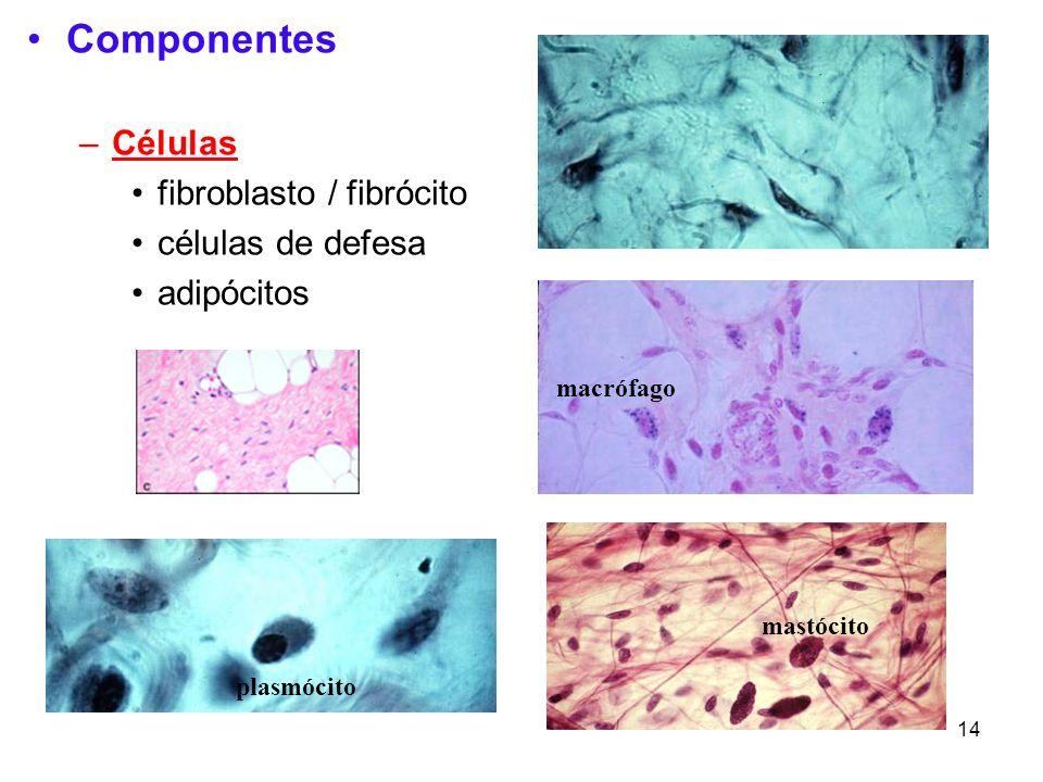 14 Componentes –Células fibroblasto / fibrócito células de defesa adipócitos macrófago plasmócito mastócito