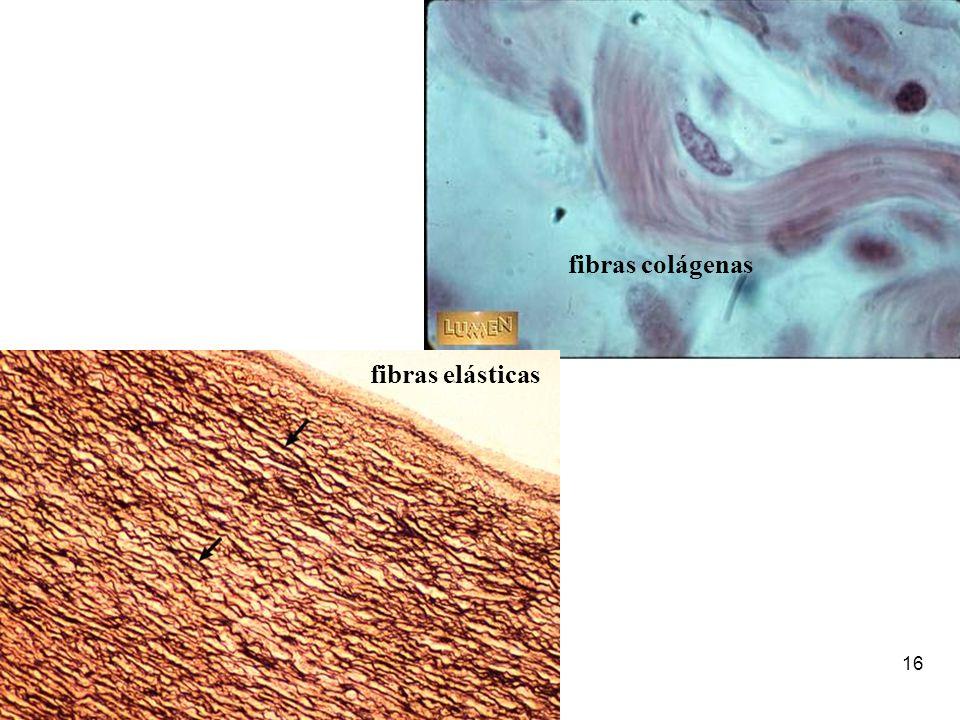 16 fibras elásticas fibras colágenas