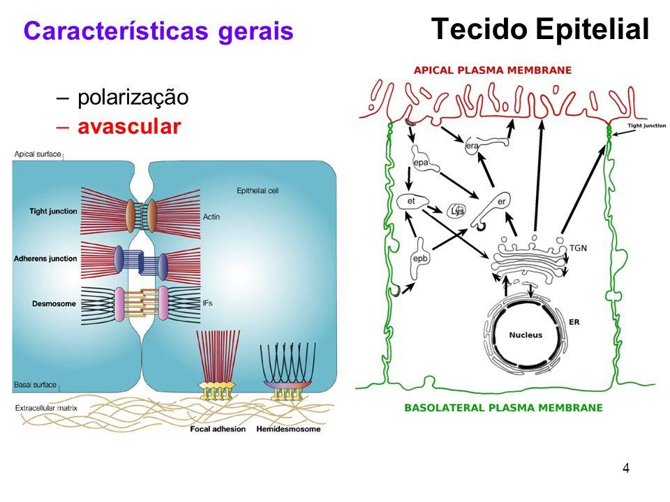 4 Características gerais –polarização –avascular Tecido Epitelial
