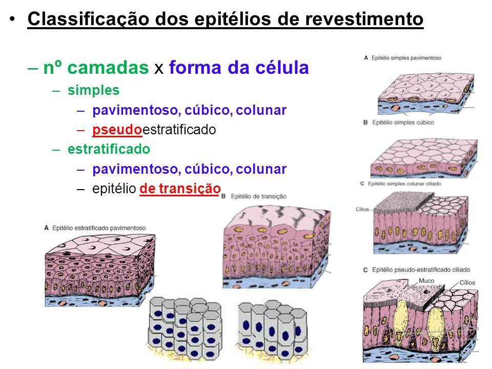Classificação dos epitélios de revestimento –nº camadas x forma da célula –simples –pavimentoso, cúbico, colunar –pseudoestratificado –estratificado –pavimentoso, cúbico, colunar –epitélio de transição 7