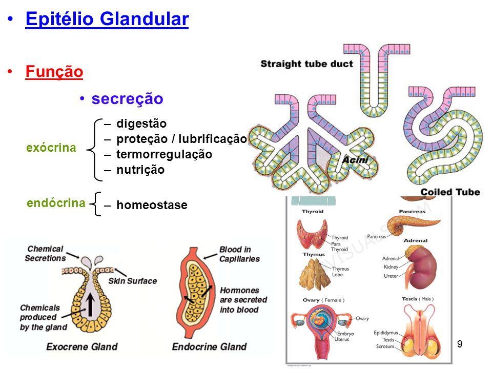 9 Epitélio Glandular secreção –digestão –proteção / lubrificação –homeostase –termorregulação exócrina endócrina –nutrição Função