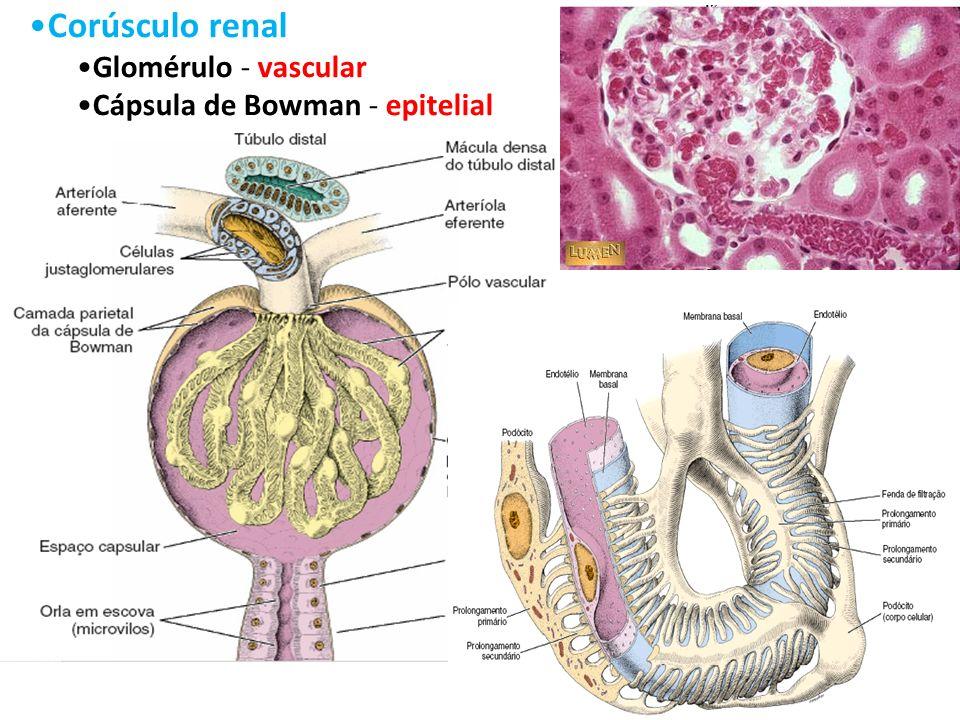 5 Corúsculo renal Glomérulo - vascular Cápsula de Bowman - epitelial