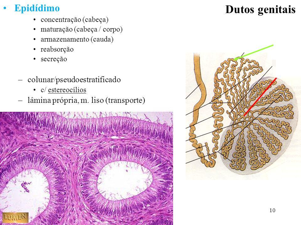 10 Dutos genitais Epidídimo concentração (cabeça) maturação (cabeça / corpo) armazenamento (cauda) reabsorção secreção –colunar/pseudoestratificado c/