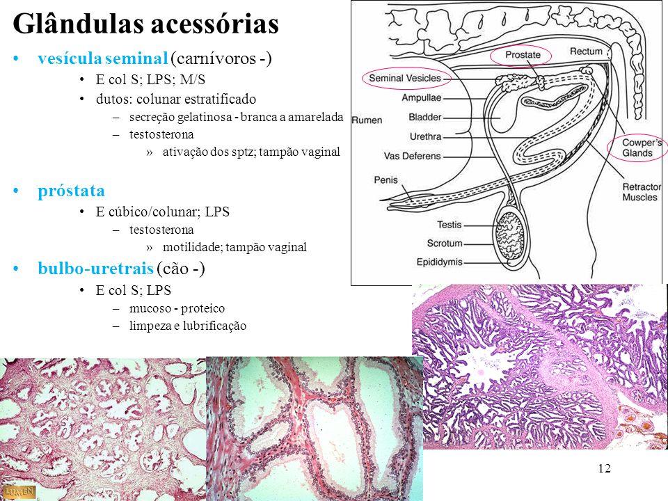 12 Glândulas acessórias vesícula seminal (carnívoros -) E col S; LPS; M/S dutos: colunar estratificado –secreção gelatinosa - branca a amarelada –test