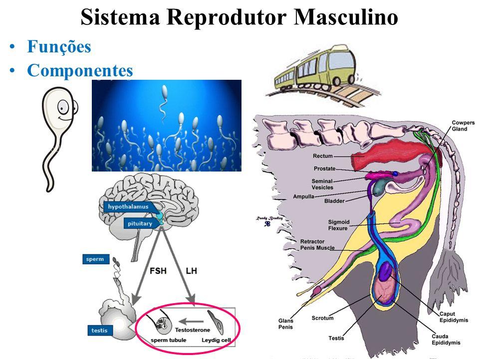 2 Sistema Reprodutor Masculino Funções Componentes