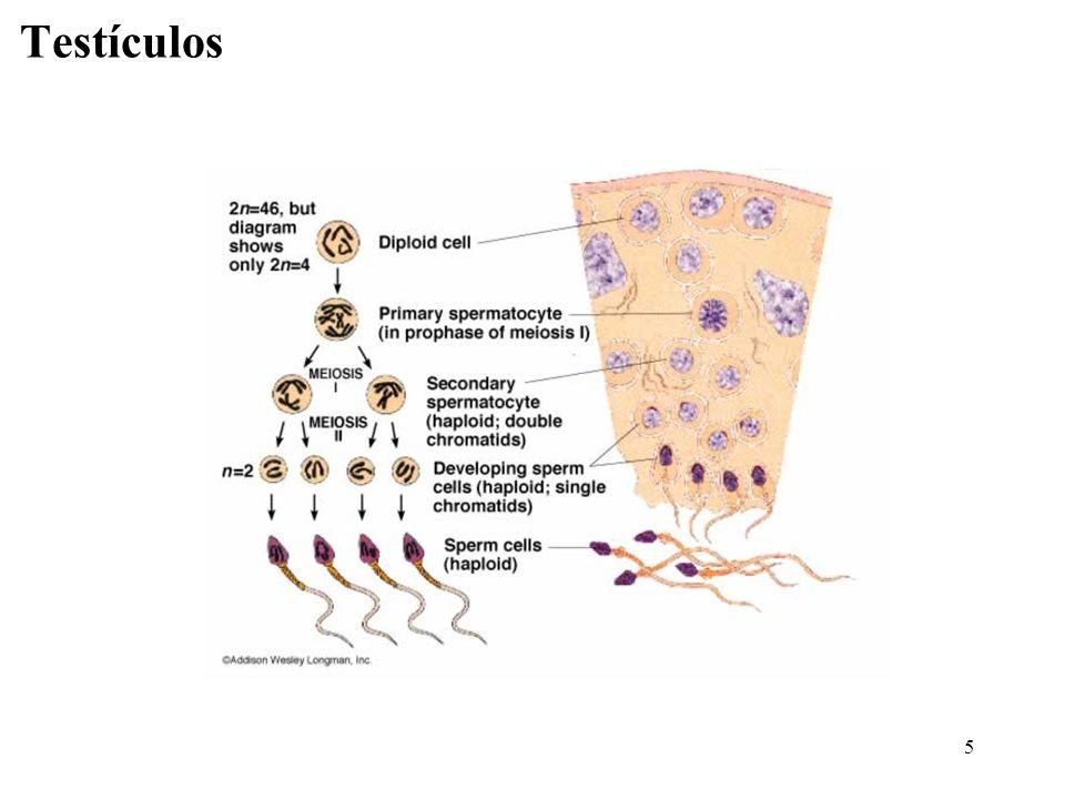 6 túbulos seminíferos epitélio germinativo /seminífero espermatozóides na luz