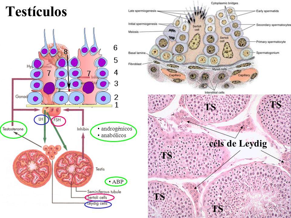 7 Testículos TS céls de Leydig TS androgênicos anabólicos ABP
