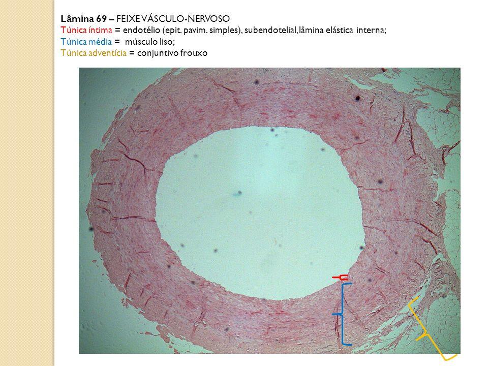 Lâmina 69 – FEIXE VÁSCULO-NERVOSO Túnica íntima = endotélio (epit. pavim. simples), subendotelial, lâmina elástica interna; Túnica média = músculo lis