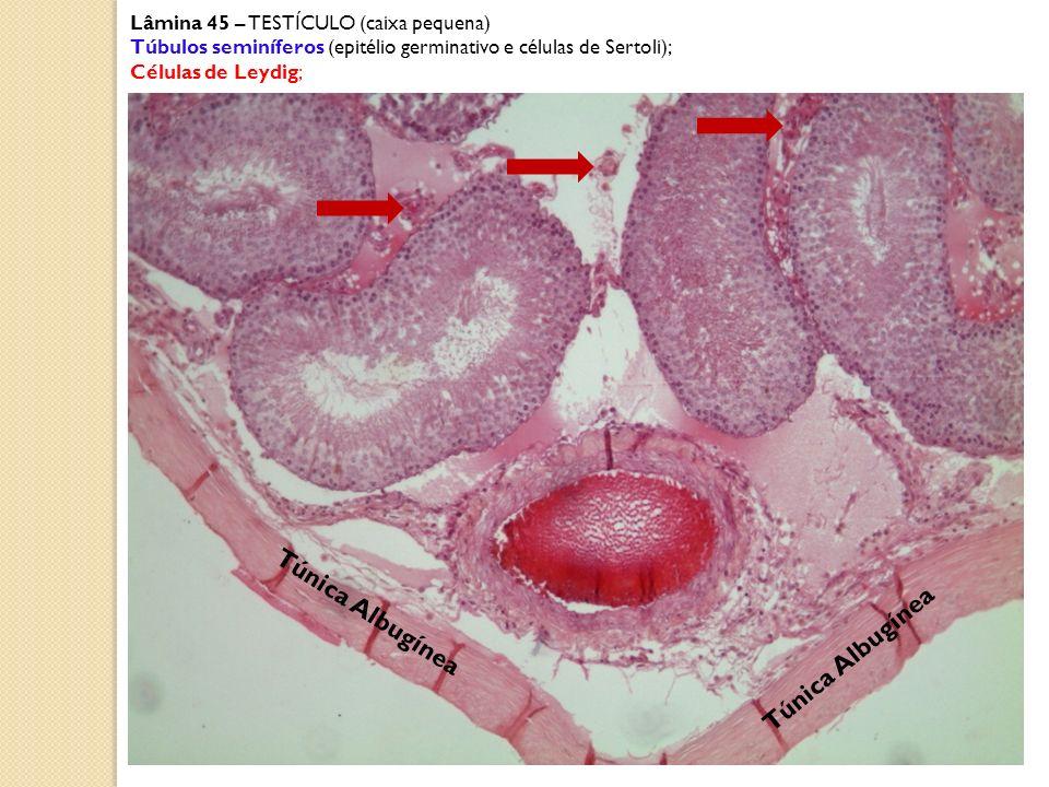 Lâmina 45 – TESTÍCULO (caixa pequena) Túbulo seminífero (epitélio germinativo com espermatogônias, espermatócitos primários e secundários, espermátides, células de Sertoli); Células intersticiais ou de Leydig; células mióides célula de Sertoli espermatozóides na luz