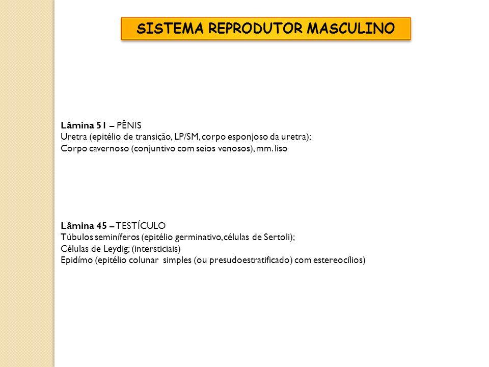 Lâmina 51 – PÊNIS Uretra (epitélio de transição, LP/SM, corpo esponjoso da uretra); Corpo cavernoso (conjuntivo com seios venosos), mm. liso Lâmina 45