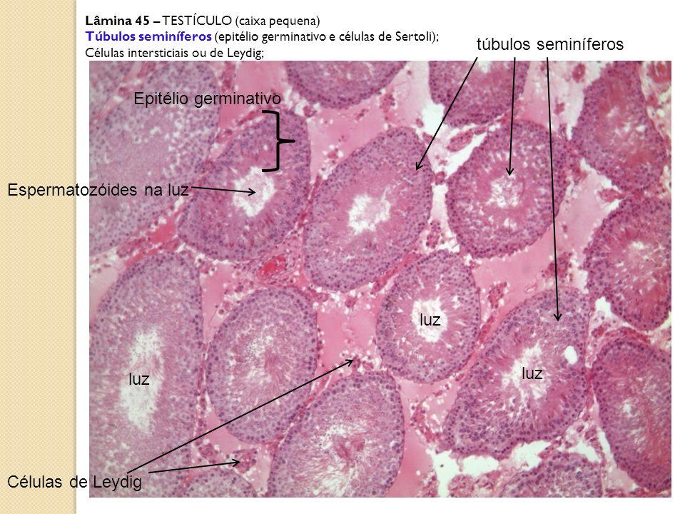Lâmina 45 – TESTÍCULO (caixa pequena) Túbulos seminíferos (epitélio germinativo e células de Sertoli); Células intersticiais ou de Leydig; luz túbulos
