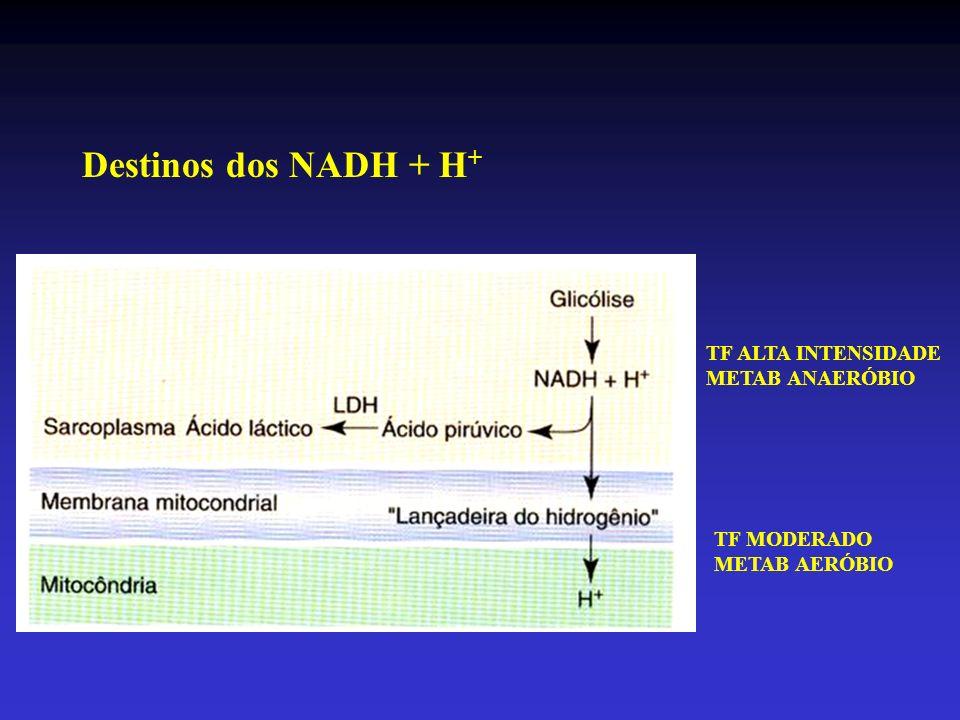 Adaptações ao TF - Aumento da vascularização (endurance) - Aumento na massa mitocondrial (volume e tamanho) - Aumento de enzimas respiratórias (TF animais com corrida e natação forçada)