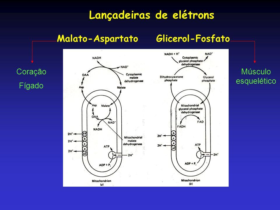 Após a diferenciação do tipo de fibras foi determinada a atividade da Cit C, CS, CO (cit oxidase), CPT Sóleo, RV (vasto lateral-verm) e WV (vasto lateral-branca)