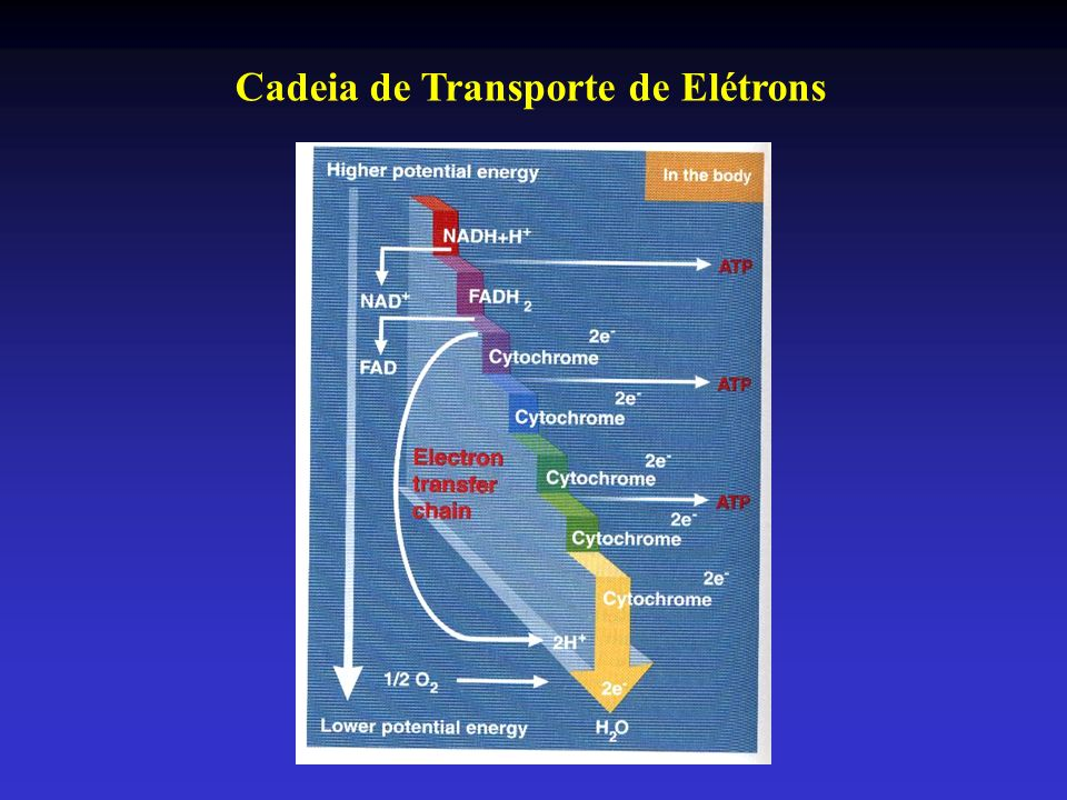A capacidade dos três tipos de fibras para metabolismo aeróbio aumenta proporcionalmente na mesma extensão.