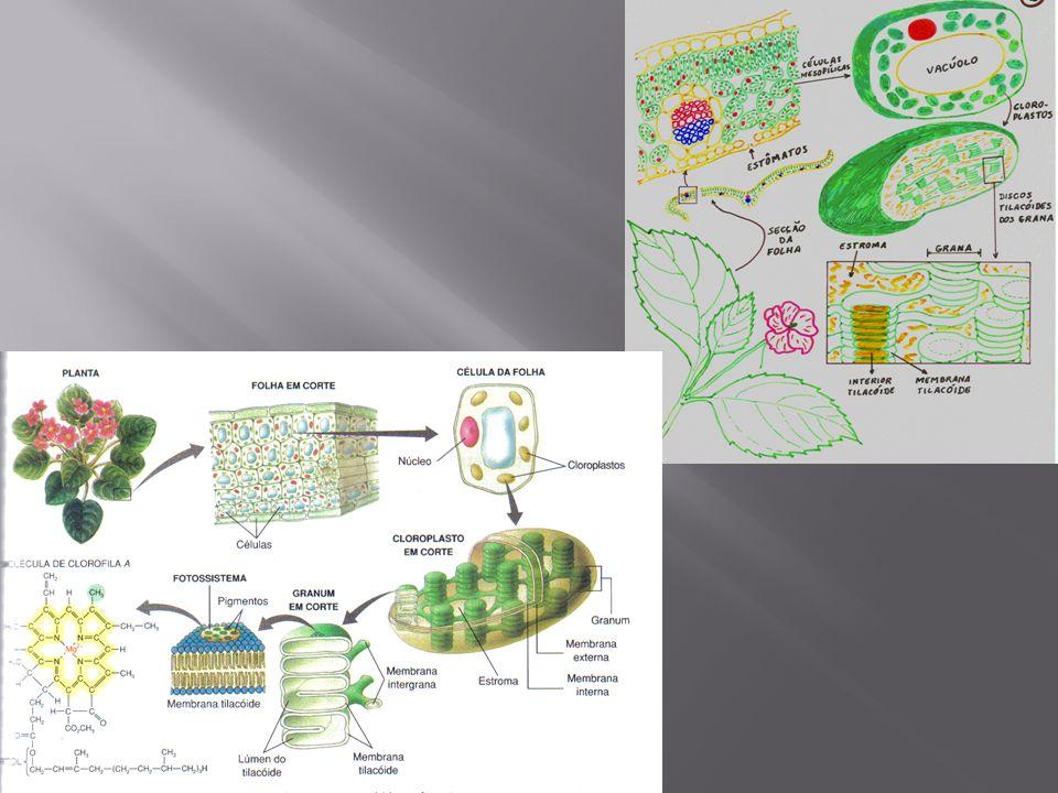 Assim como as mitocôndrias também possuem capacidade de autoduplicação