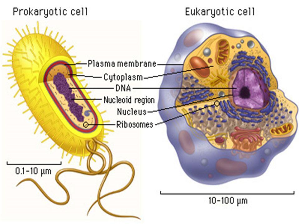 Procariotas Não possuem núcleo individualizado e separado do citoplasma. Possuem ribossomos. DNA desorganizado. Eucariotas Possuem núcleo individualiz
