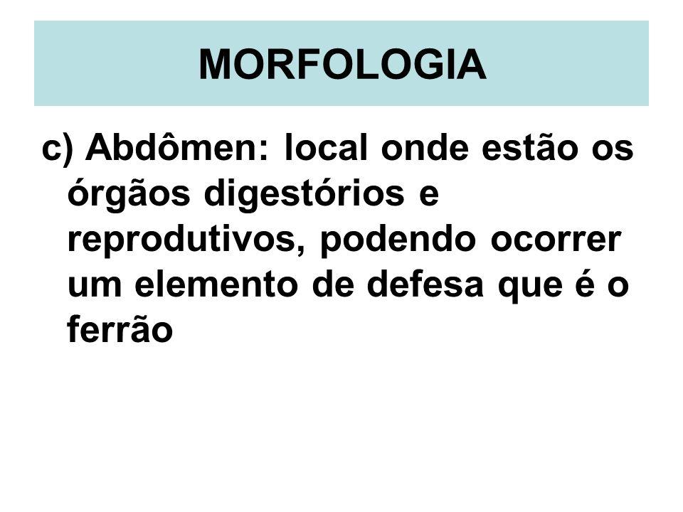 MORFOLOGIA c) Abdômen: local onde estão os órgãos digestórios e reprodutivos, podendo ocorrer um elemento de defesa que é o ferrão