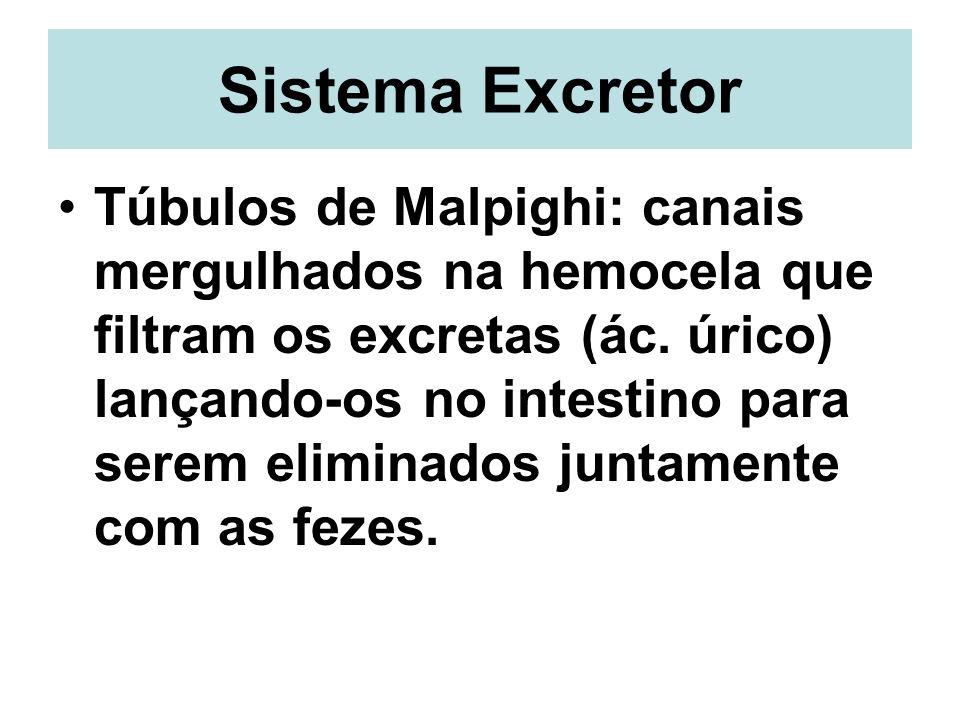 Sistema Excretor Túbulos de Malpighi: canais mergulhados na hemocela que filtram os excretas (ác. úrico) lançando-os no intestino para serem eliminado