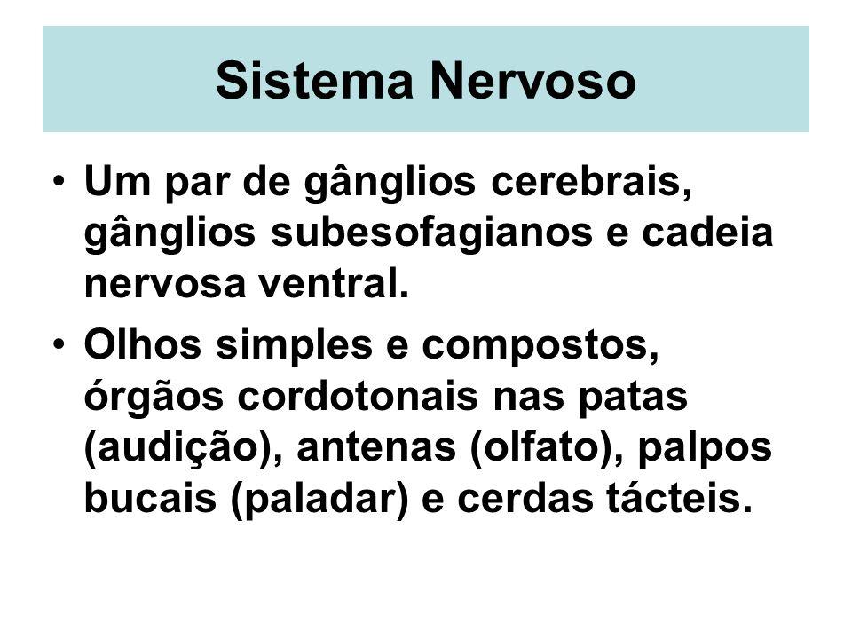 Sistema Nervoso Um par de gânglios cerebrais, gânglios subesofagianos e cadeia nervosa ventral. Olhos simples e compostos, órgãos cordotonais nas pata