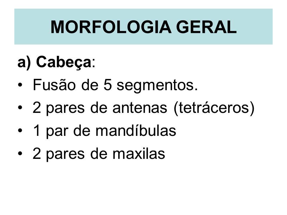 MORFOLOGIA GERAL a) Cabeça: Fusão de 5 segmentos. 2 pares de antenas (tetráceros) 1 par de mandíbulas 2 pares de maxilas