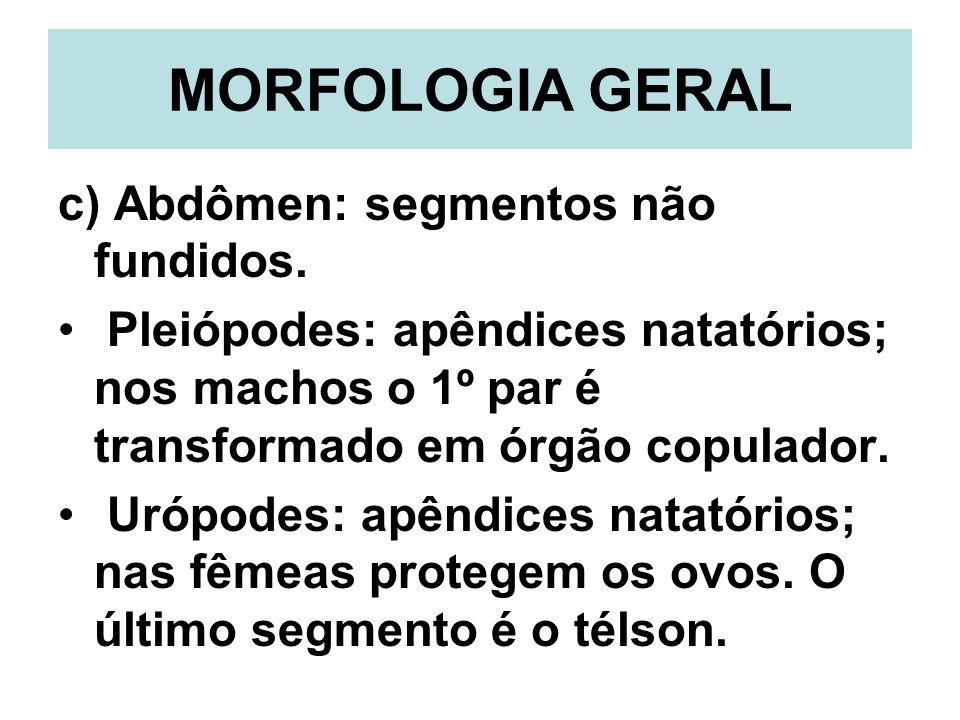 MORFOLOGIA GERAL c) Abdômen: segmentos não fundidos. Pleiópodes: apêndices natatórios; nos machos o 1º par é transformado em órgão copulador. Urópodes