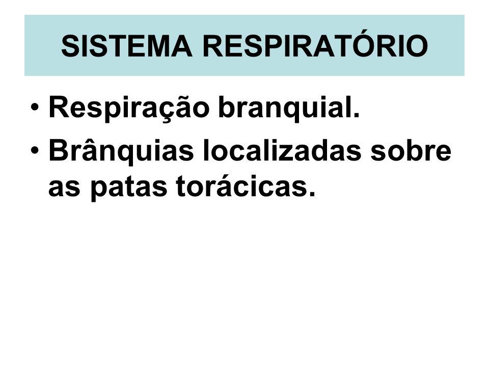 SISTEMA RESPIRATÓRIO Respiração branquial. Brânquias localizadas sobre as patas torácicas.