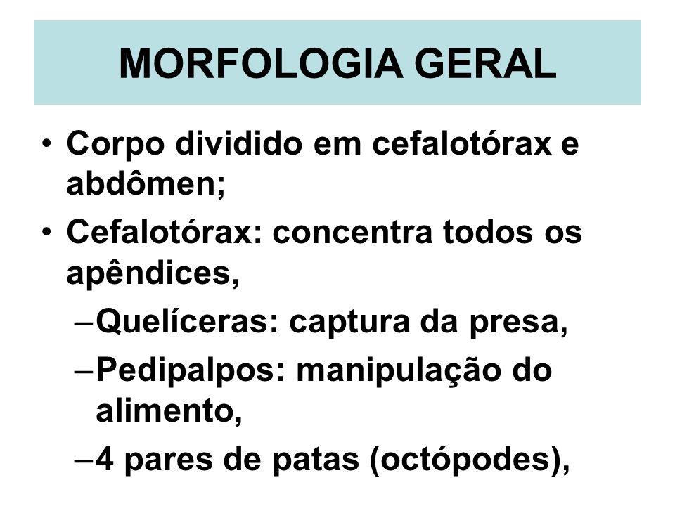 MORFOLOGIA GERAL Corpo dividido em cefalotórax e abdômen; Cefalotórax: concentra todos os apêndices, –Quelíceras: captura da presa, –Pedipalpos: manip