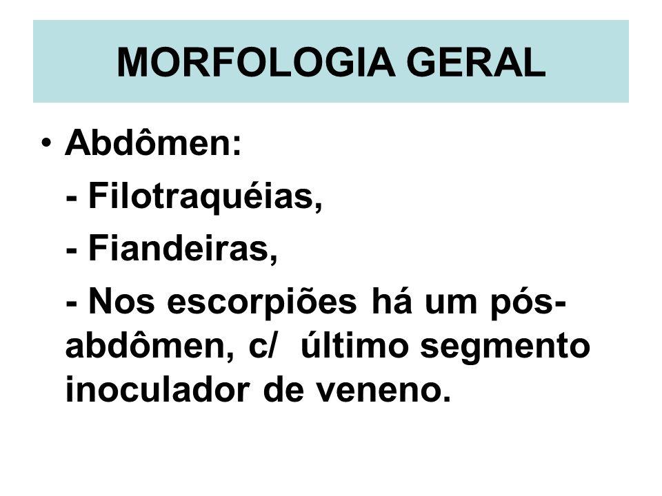 MORFOLOGIA GERAL Abdômen: - Filotraquéias, - Fiandeiras, - Nos escorpiões há um pós- abdômen, c/ último segmento inoculador de veneno.