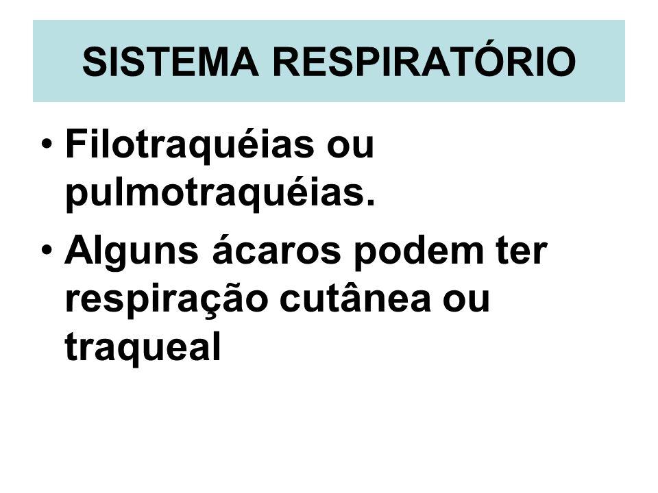 SISTEMA RESPIRATÓRIO Filotraquéias ou pulmotraquéias. Alguns ácaros podem ter respiração cutânea ou traqueal