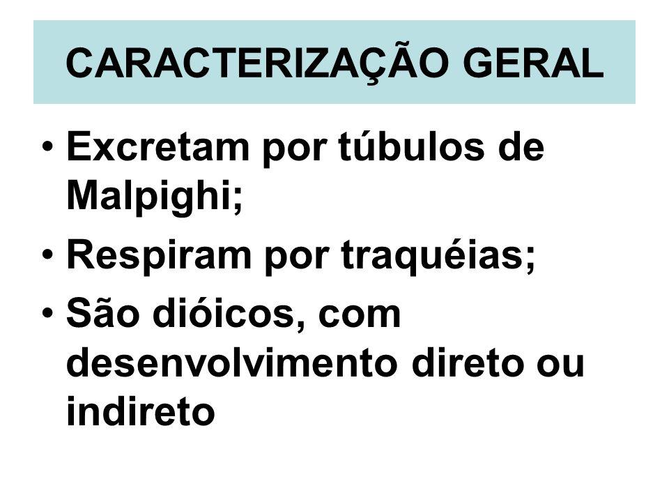 CARACTERIZAÇÃO GERAL Excretam por túbulos de Malpighi; Respiram por traquéias; São dióicos, com desenvolvimento direto ou indireto